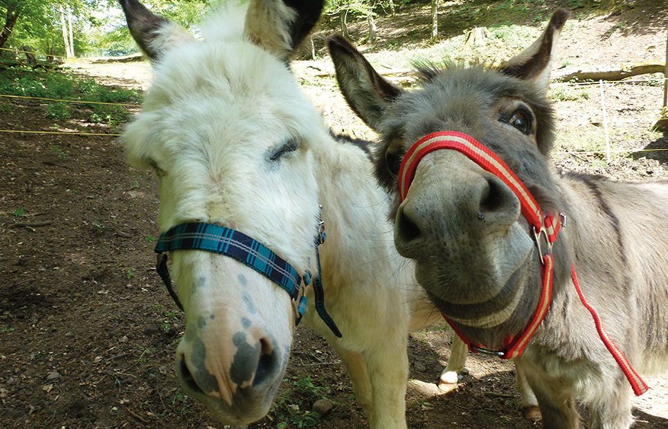 Zwei Esel in Nahaufnahme