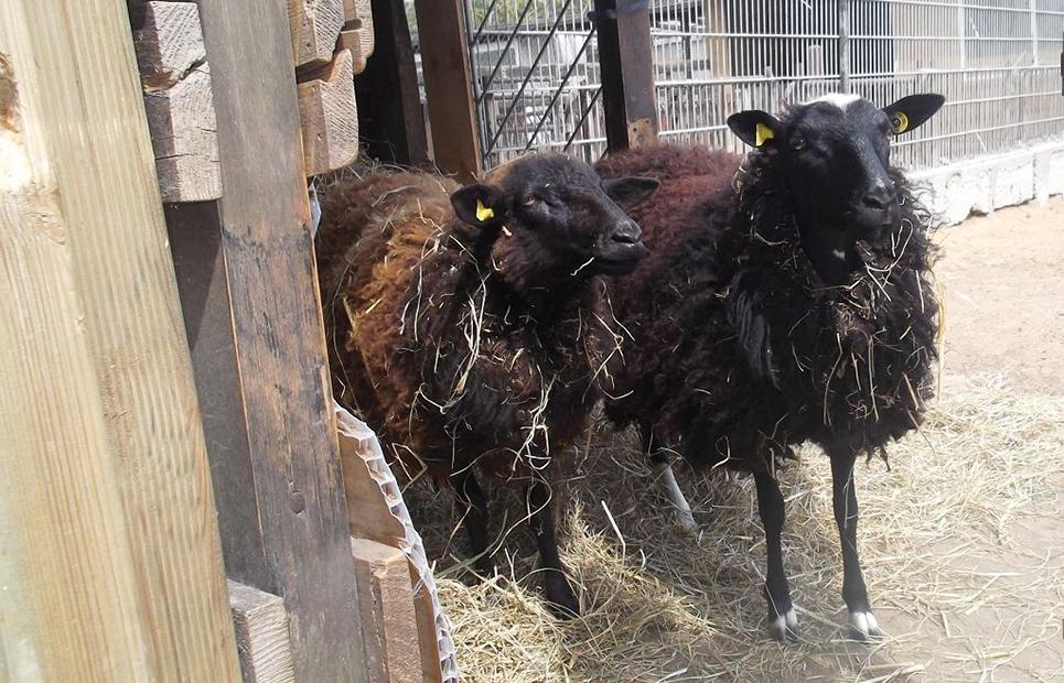 Zwei Schafe